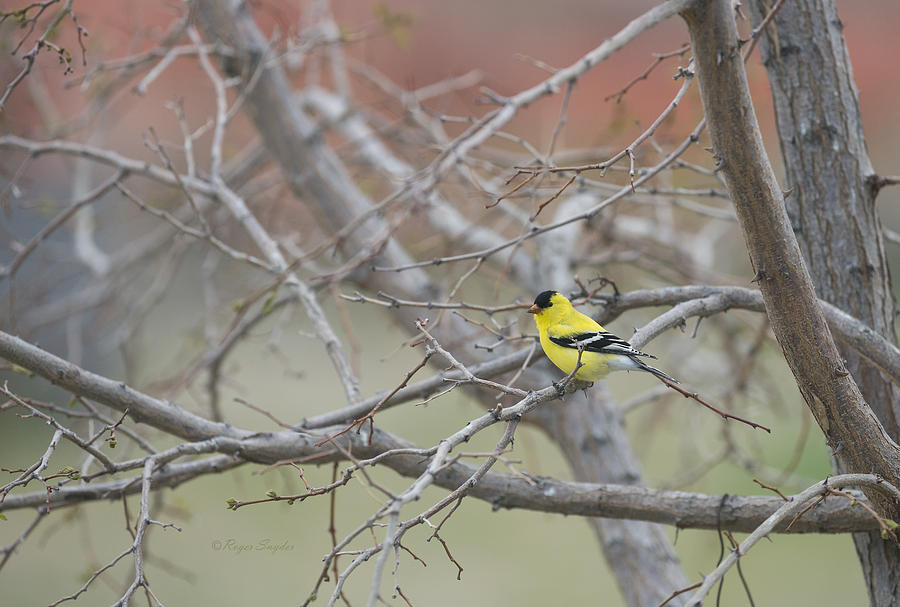 Beautiful Photograph - American Goldfinch 1 by Roger Snyder