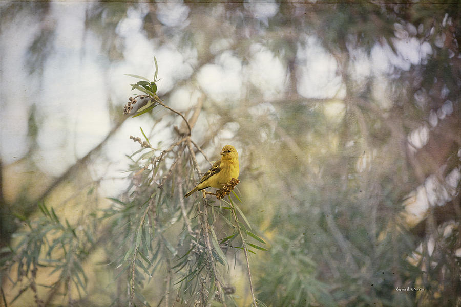 Goldfinch Photograph - American Goldfinch In Winter Plumage by Angela A Stanton