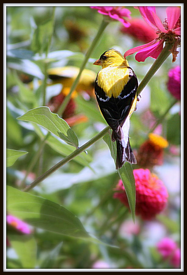 American Photograph - American Goldfinch by Kay Novy