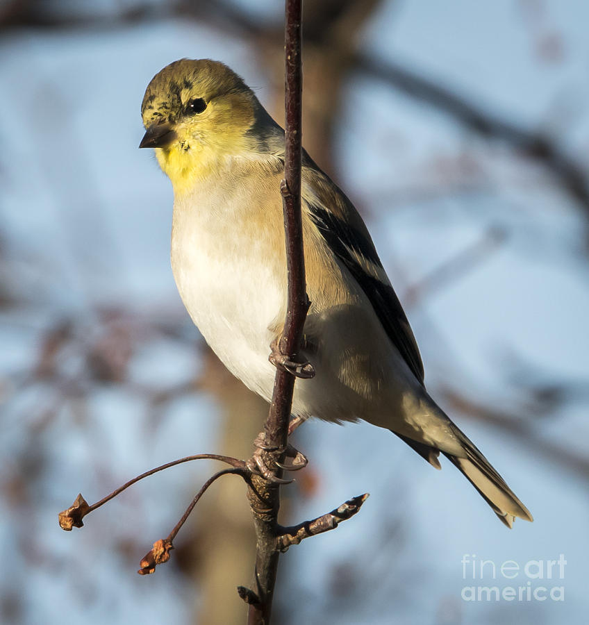 Canon Photograph - American Goldfinch by Ricky L Jones
