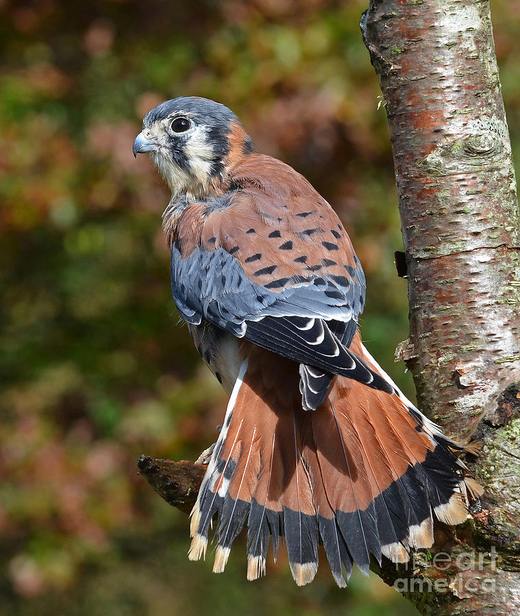 Kestral Photograph - American Kestral Portrait by Rodney Campbell