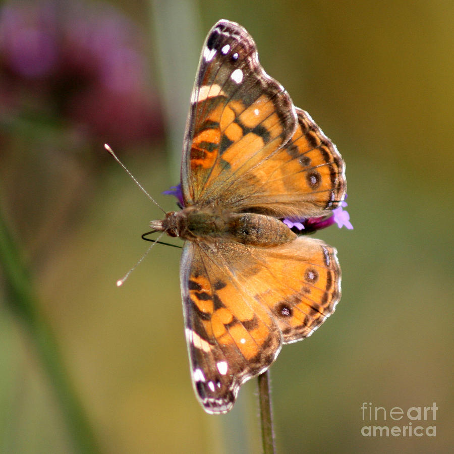 American Lady Photograph - American Lady Butterfly by Karen Adams