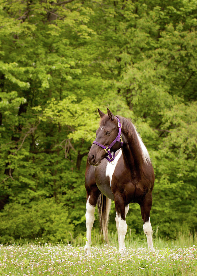 American Paint Horse Standing In Field Photograph by Kerri Wile