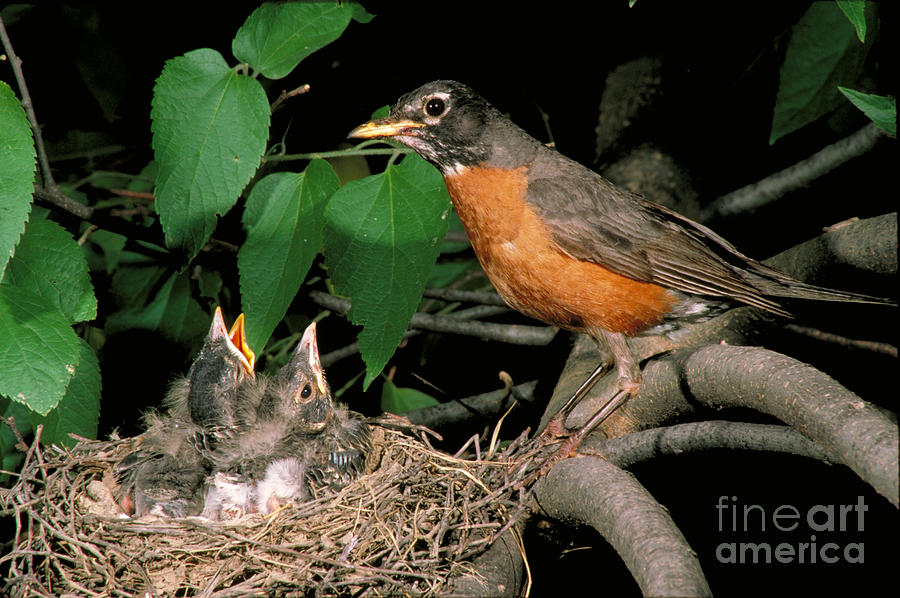 American Robin Photograph - American Robin Feeding Its Young by David N. Davis