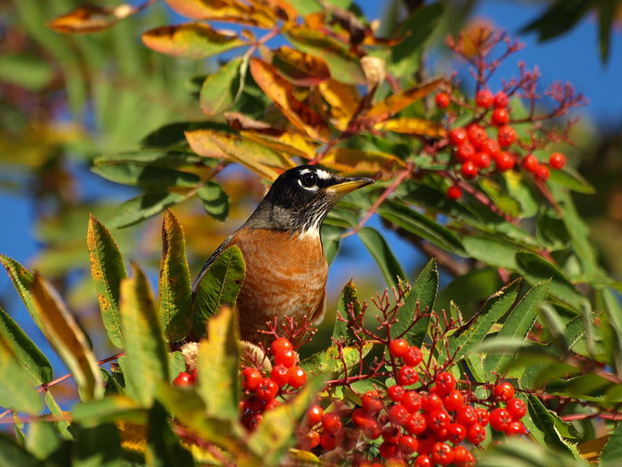 James Photograph - American Robin by James Peterson