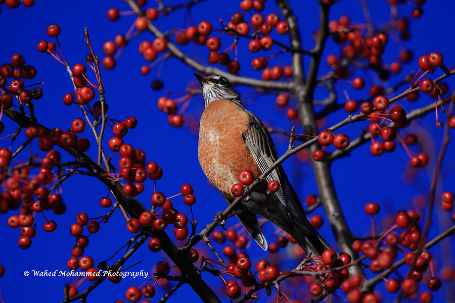 American Robin Photograph by Wahed Mohammed