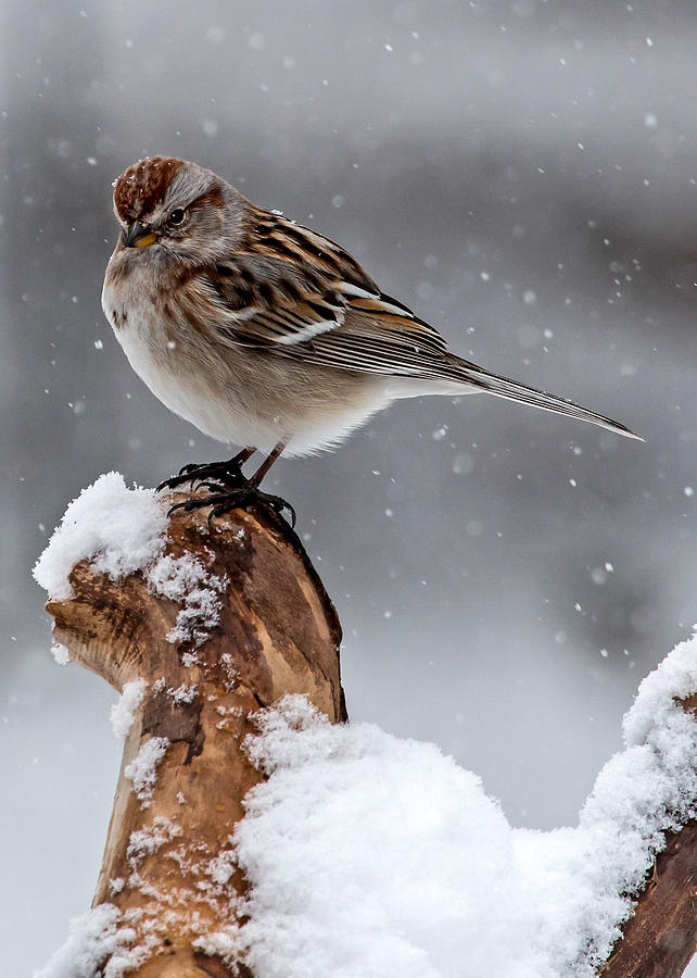 American Tree Sparrow Photograph - American Tree Sparrow In Snow by Dawn Key