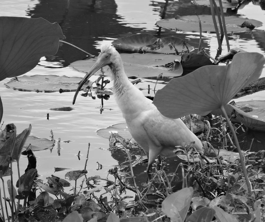 American White Ibis Black And White Photograph