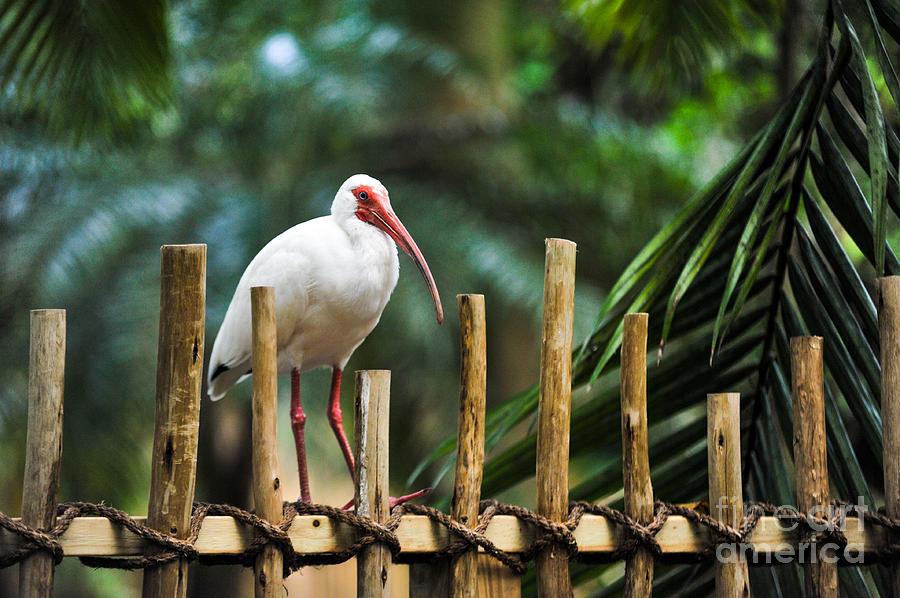 American White Ibis Photograph