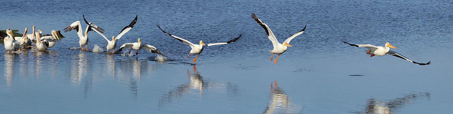 American White Pelican Taking Flight Photograph by Don Mccullough