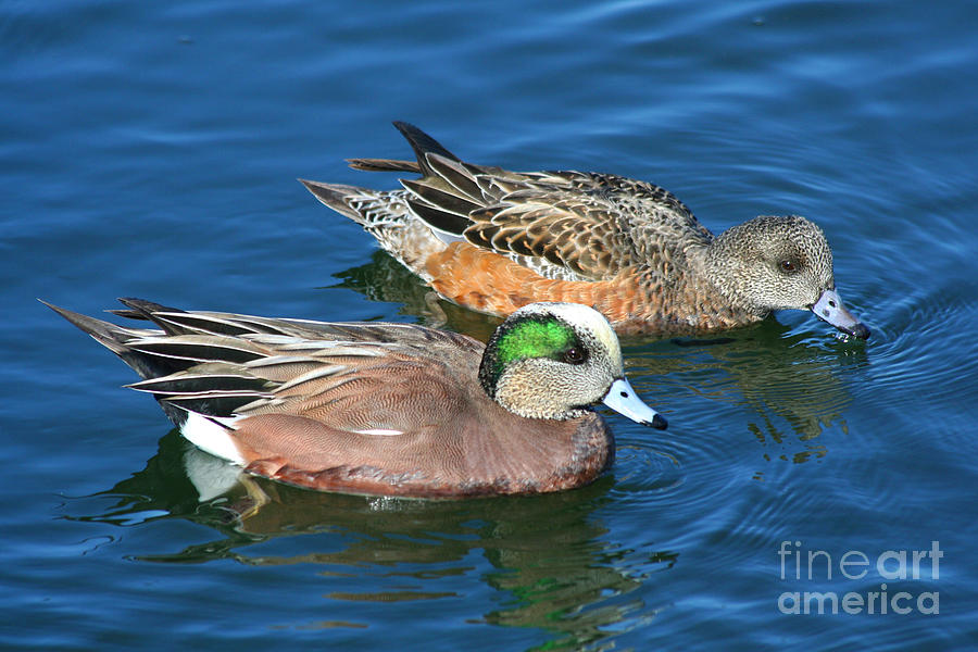 American Wigeon Pair Photograph by Bob and Jan Shriner