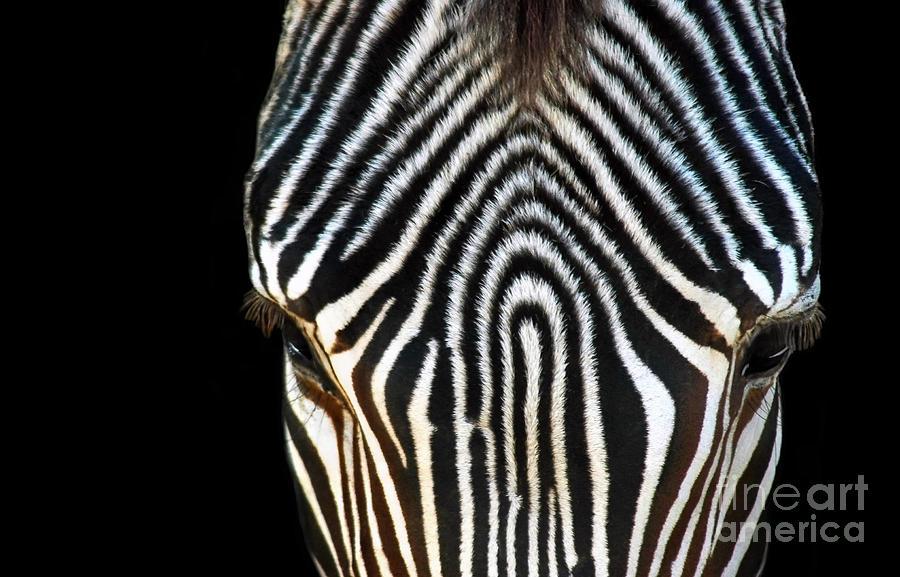 Zebra Photograph - Aminal Print by Dan Holm