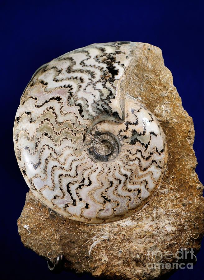 Ammonite Photograph - Ammonite Fossil by Scott Camazine