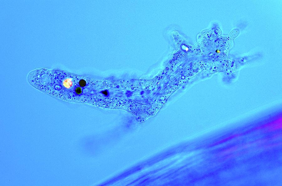 Protozoa   Körinfo