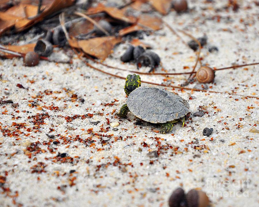 Turtle Photograph - Among Acorns by Al Powell Photography USA