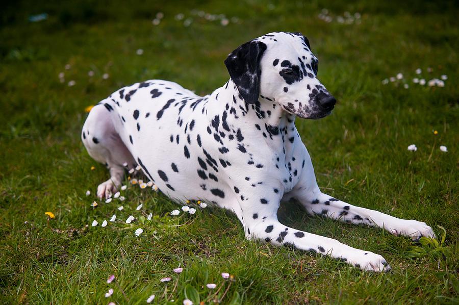 Dalmation Photograph - Among The Daisies. Kokkie. Dalmation Dog by Jenny Rainbow