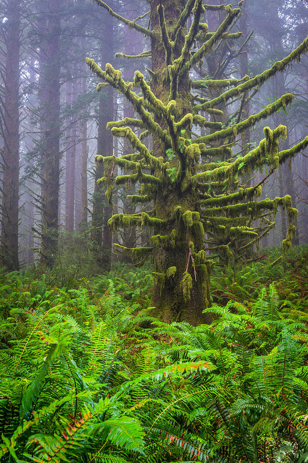 Crescent City Photograph - Among The Redwoods by Mike  Walker