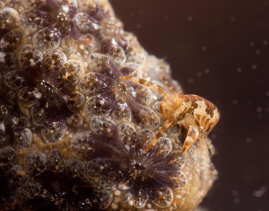 Amphipod Photograph - Amphipod on botryllus by Brian Magnier