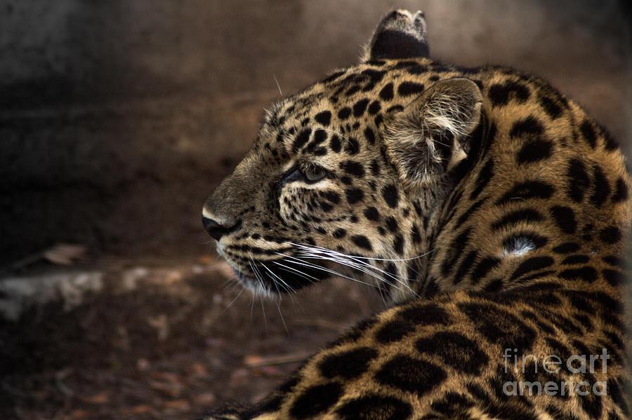Amur Leopard Photograph