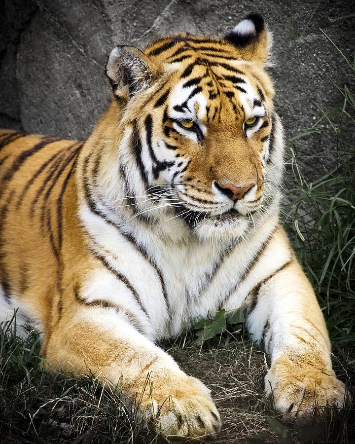 Amur Tiger Photograph - Amur Tiger by Adam Romanowicz