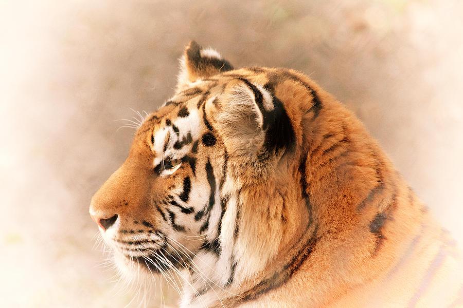 Tiger Photograph - Amur Tiger by Karol Livote