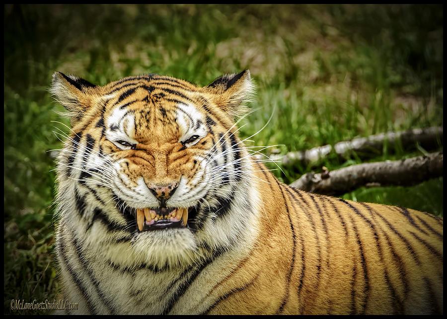 Tiger Photograph - Amur Tiger Smile by LeeAnn McLaneGoetz McLaneGoetzStudioLLCcom