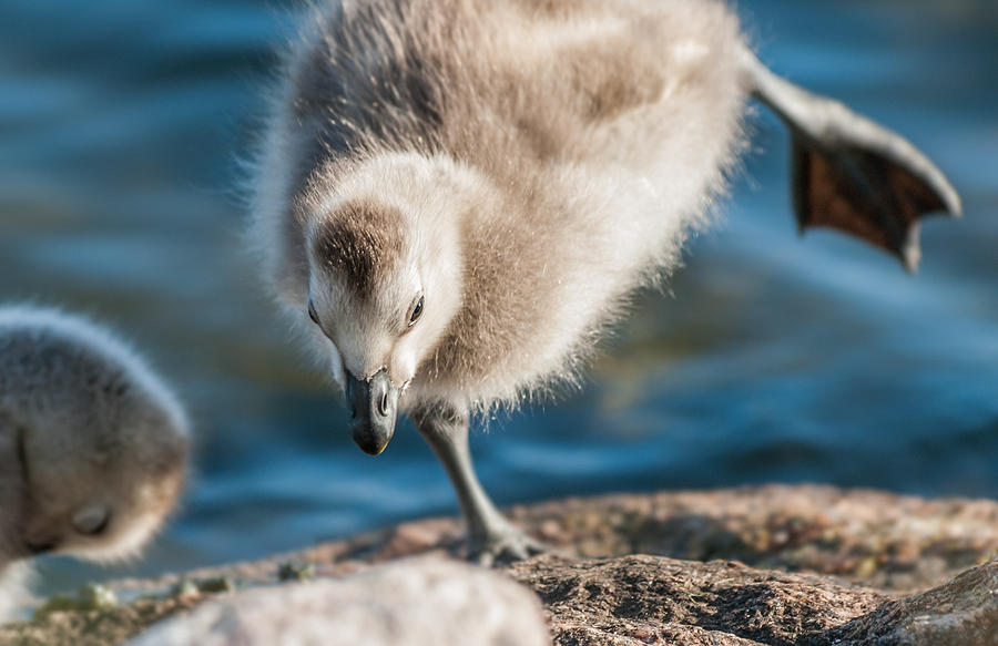 Goose Photograph - An Acrobatic Goose by Janne Mankinen