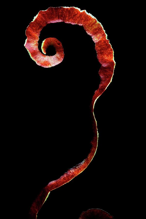 An Apple Peel Photograph by Romulo Yanes