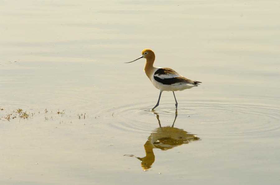 Birds Photograph - An Avocet Walking The Shore by Jeff Swan