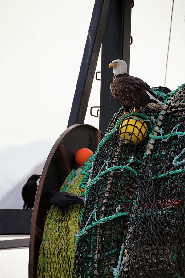 An Eagle Sits On The Fishing Nets On A Photograph by Marion Owen / Design Pics