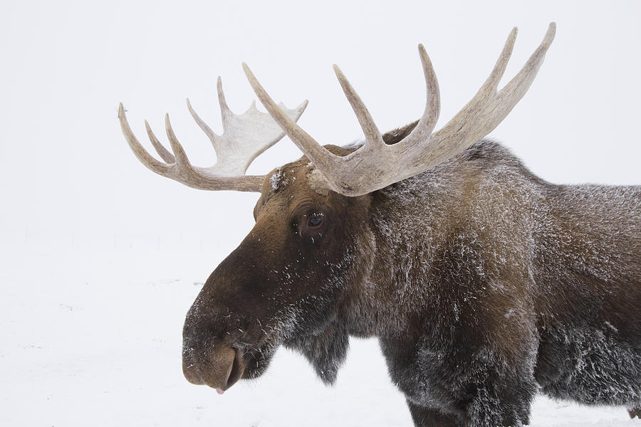 An Elk Cervus Canadensis With Snow Photograph