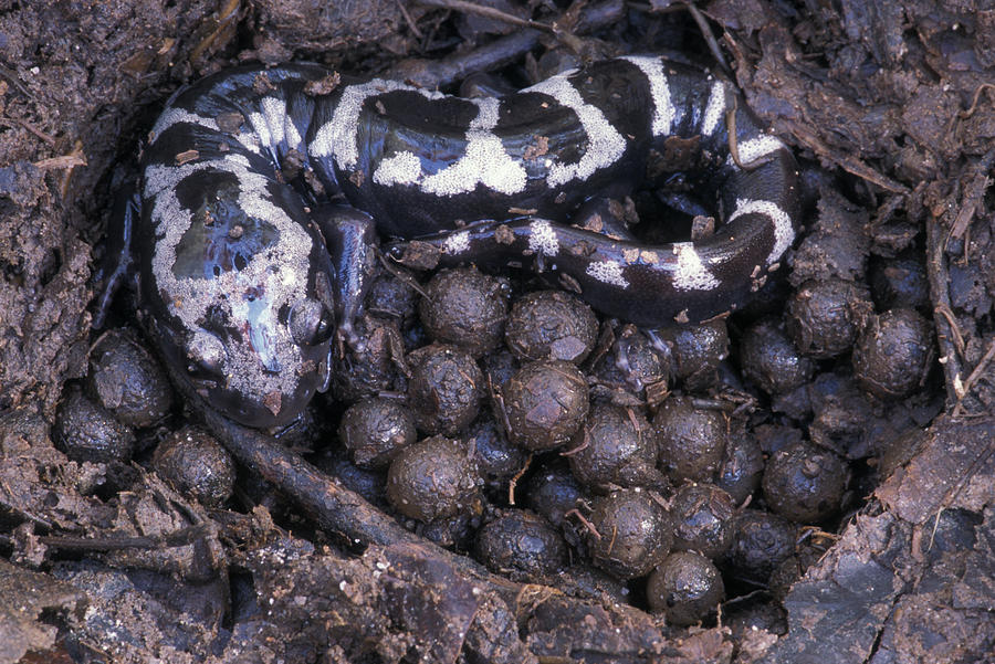 Caring Photograph - An Endangered Marbled Salamander Nests by Peter Essick