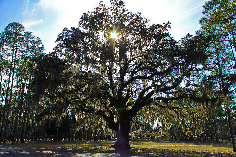 An Old Oak Tree Photograph By Jessica Brown
