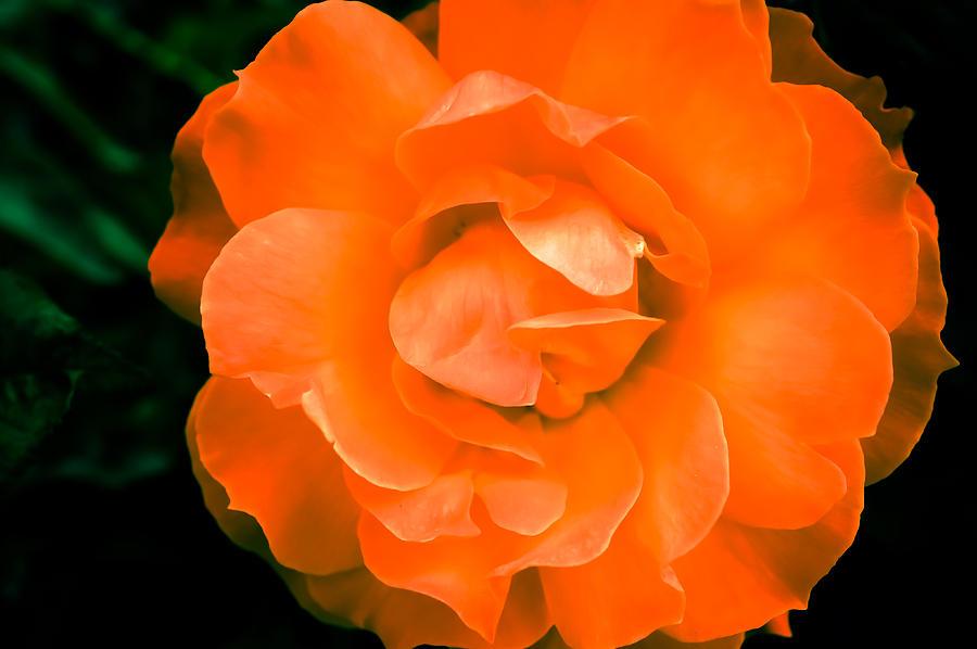 Black Photograph - An Orange Rose by Ronda Broatch