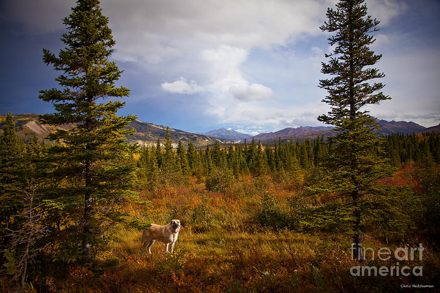 Alaska Photograph - Anatolian Shepherd by Chris Heitstuman