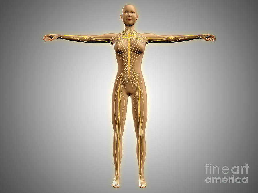 Gray Background Digital Art - Anatomy Of Female Body With Nervous by Stocktrek Images