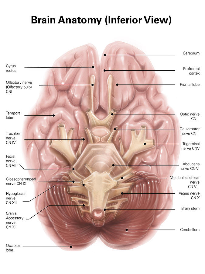Anatomy Of Human Brain Inferior View Alan Gesek