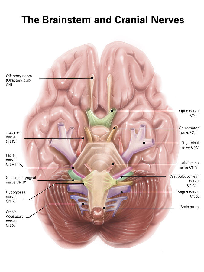 Anatomy Of Human Brain Stem And Cranial Photograph by Alan Gesek