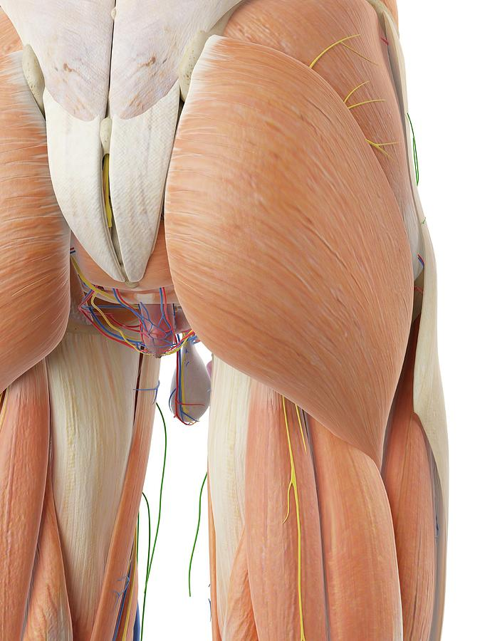 Anatomy Of Human Buttocks Photograph by Sciepro