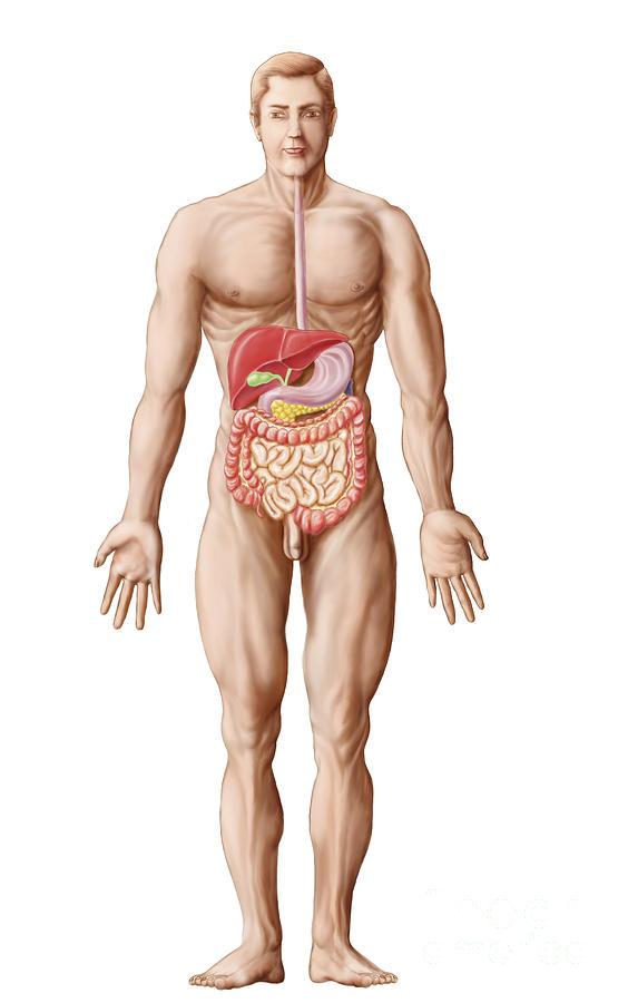 Vertical Digital Art - Anatomy Of Human Digestive System, Male by Stocktrek Images