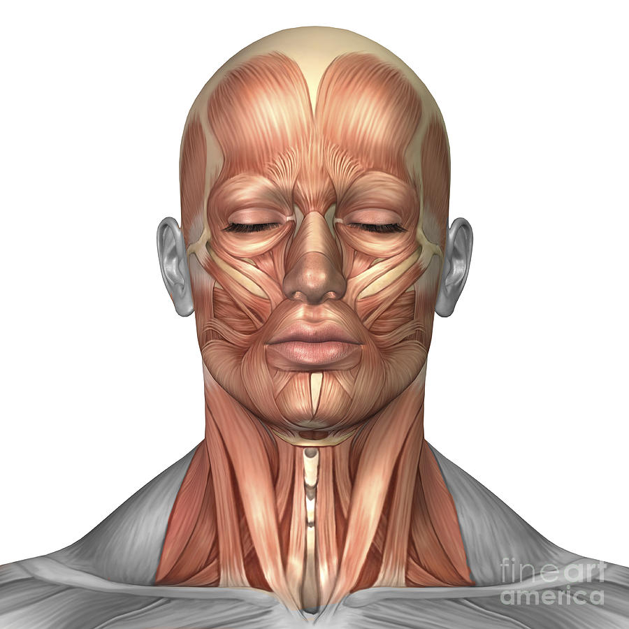 Anatomy Of Human Face And Neck Muscles Digital Art by Stocktrek Images