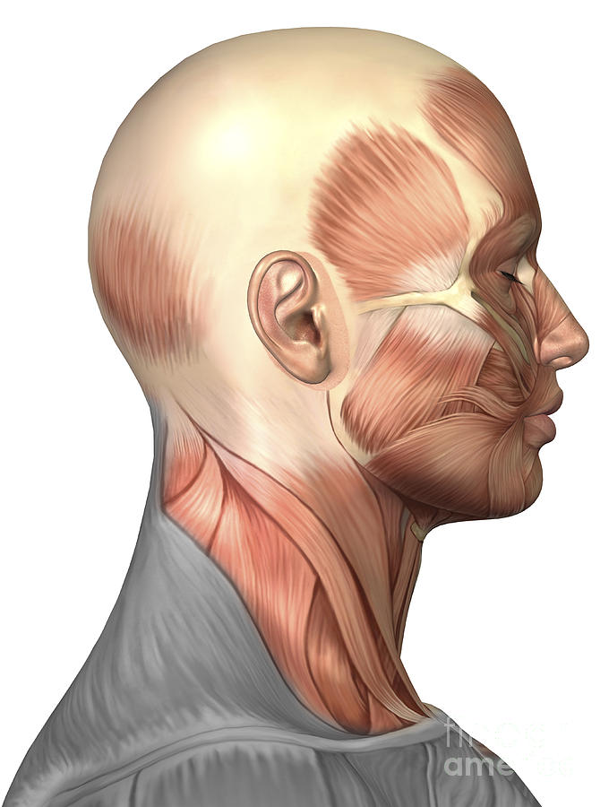 Anatomy Of Human Face Muscles Side Digital Art By