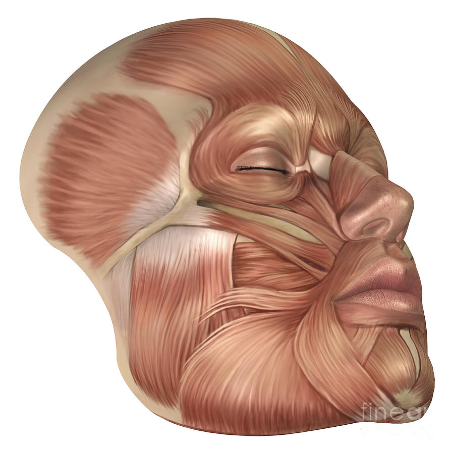 Anatomy Of Human Face Muscles Digital Art By Stocktrek Images