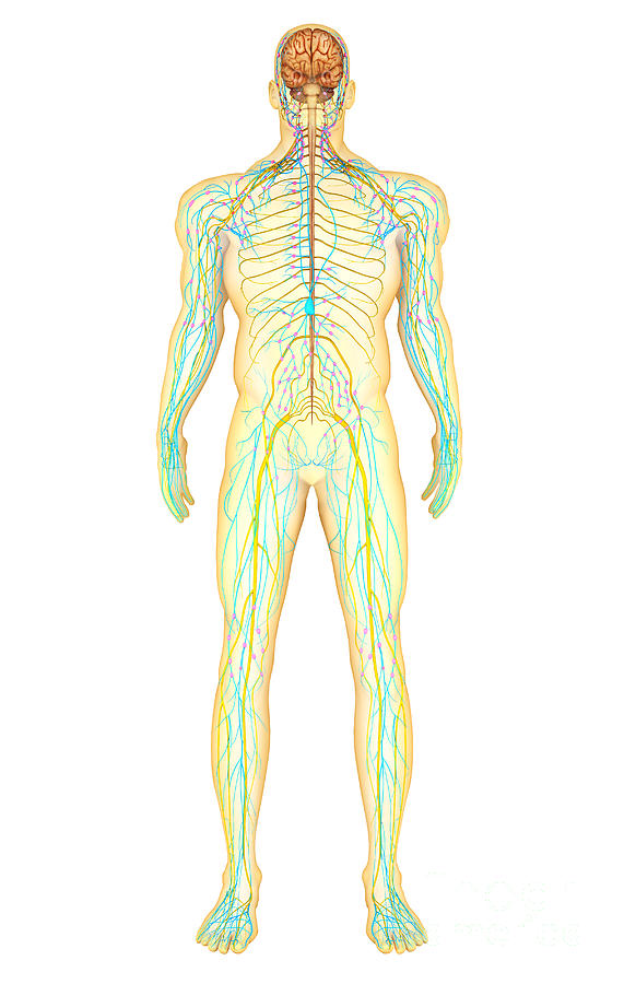 Anatomy Of Human Nervous System Digital Art by Stocktrek Images