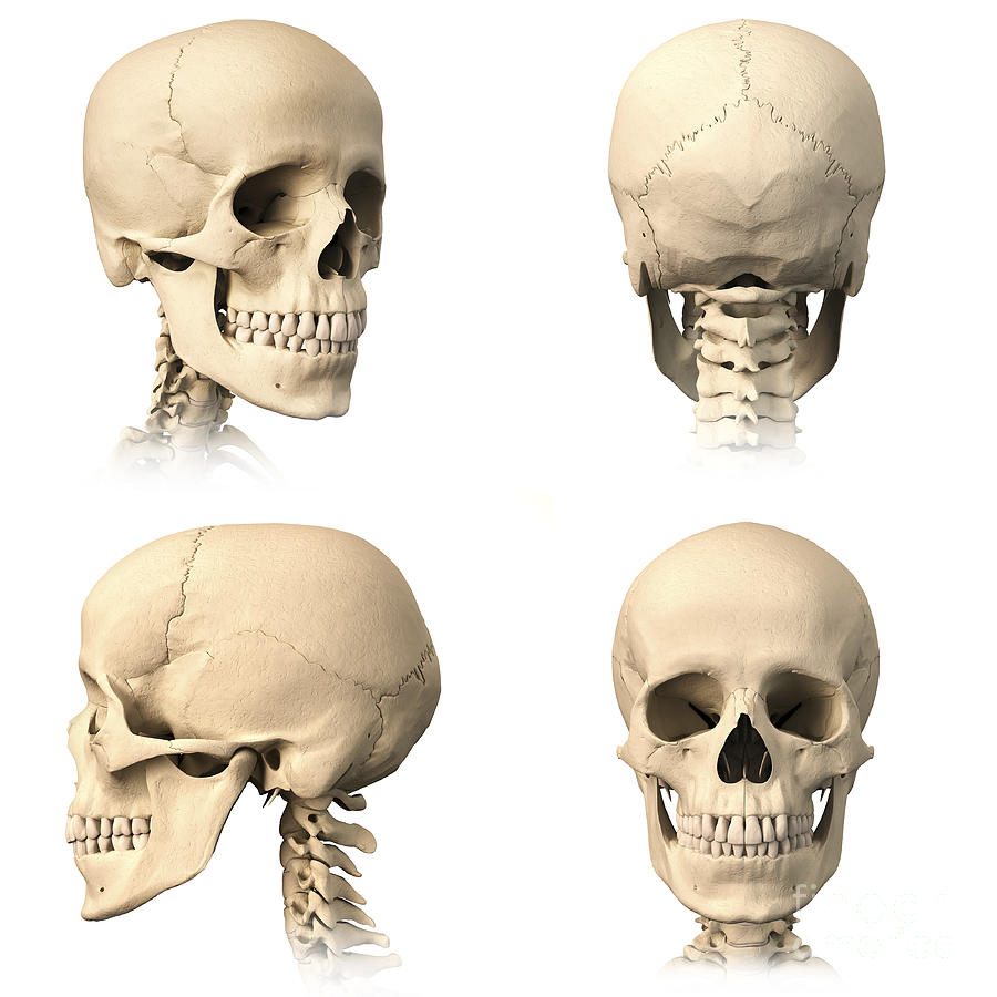 Anatomy Of Human Skull From Different Photograph By Leonello Calvetti