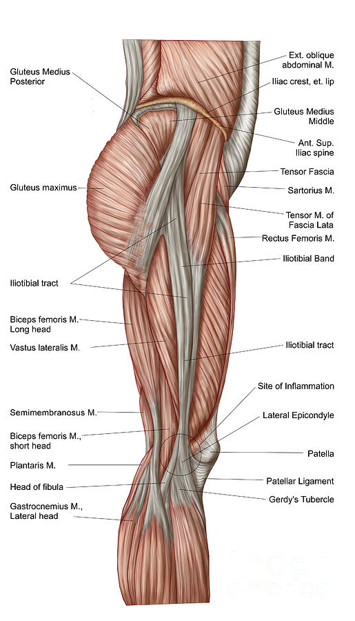 Anatomy Of Human Thigh Muscles Photograph by Stocktrek Images