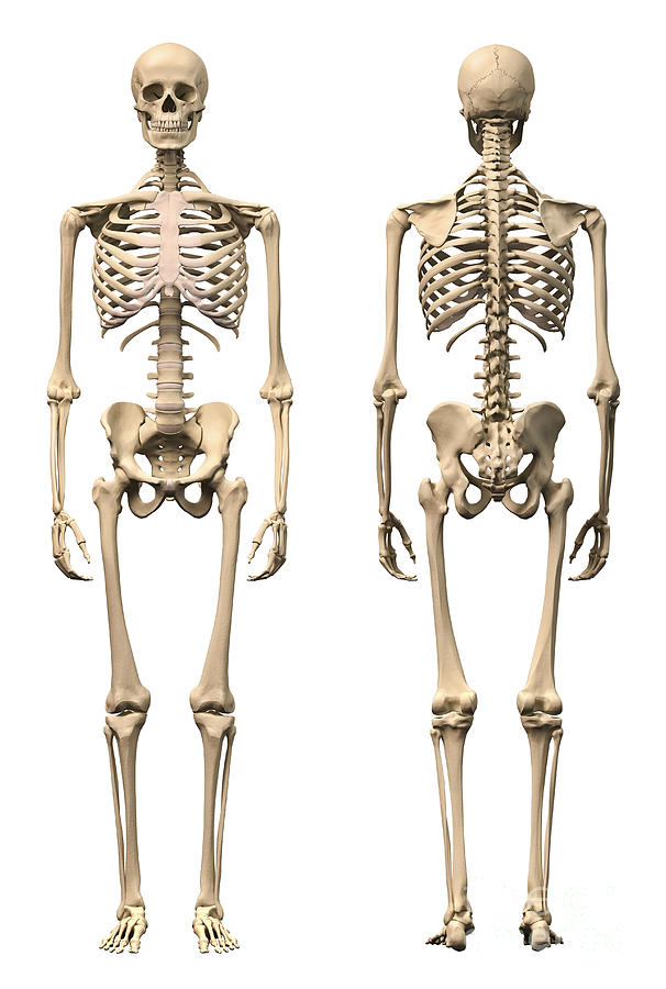 Anatomy Of Male Human Skeleton, Front Digital Art by Leonello Calvetti