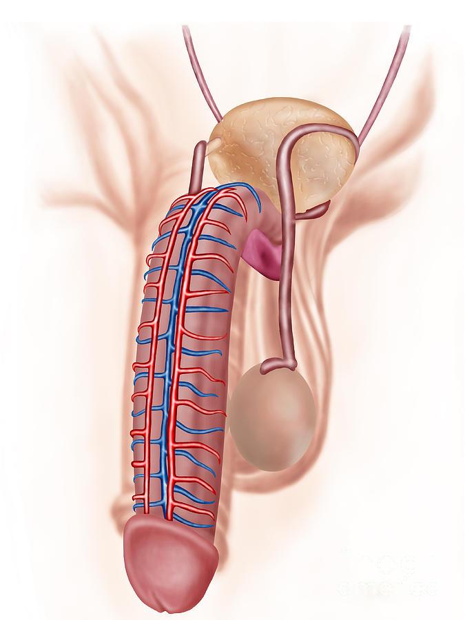 Anatomy Of Male Reproductive Organs Digital Art By Stocktrek Images