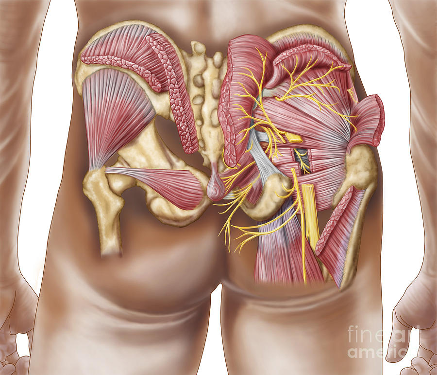 Anatomy Of The Gluteal Muscles Digital Art