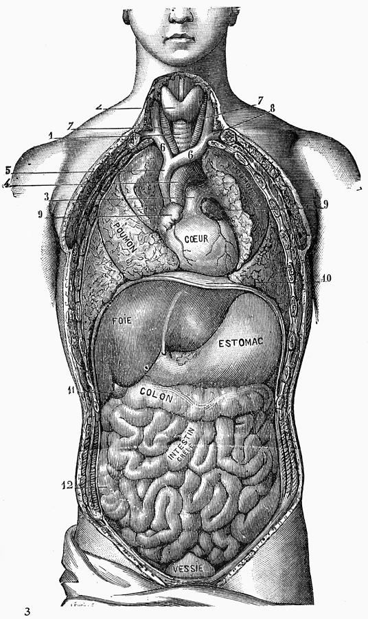 Anatomy Torso Photograph By Granger